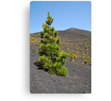 lonely pine-tree Canvas Print