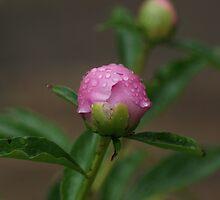 Pink Peony Bud by Rick  Friedle