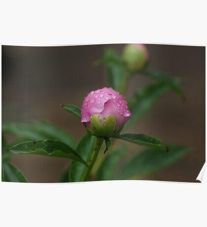 Pink Peony Bud Poster
