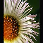 Daisy by Dan  Wampler
