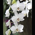 White Orchid, the flower of love by Dan  Wampler