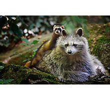 Ferret and Raccon Friends Photographic Print