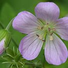 Wild Geranium by Ron Russell