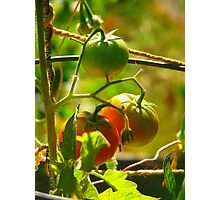 The Tomato Patch  Photographic Print