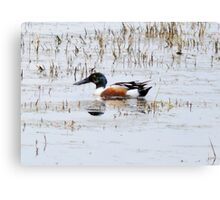 Shovel Billed Duck Canvas Print