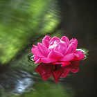Red Rose by ChuckBuckner