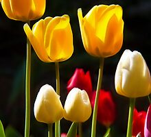 Spring. Tulips Serenade. by vadim19
