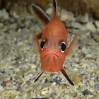Roughy - Trachichthys australis by Andrew Trevor-Jones