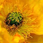 Yellow Poppy. by Bette Devine