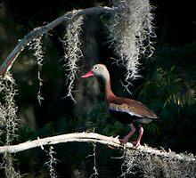 Black Bellied Whistling Duck by Joe Jennelle