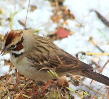 Lark Sparrow by Arla M. Ruggles