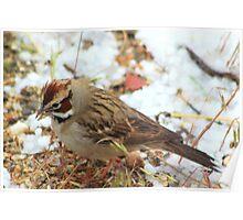 Lark Sparrow Poster
