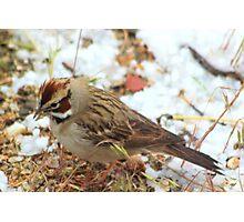 Lark Sparrow Photographic Print