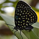 Eumaeus Childrenae (Superb Cycadian or Great Cycadian) by Pandrot