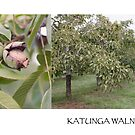 katunga walnuts postcard by Kim Jackman