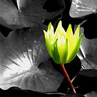 Yellow Waterlily by LeJour