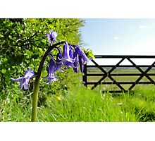 The Bluebell Gatekeeper Photographic Print