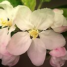 Pink / white Apple Flowers by walstraasart