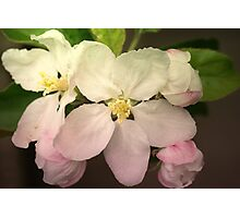 Pink / white Apple Flowers Photographic Print