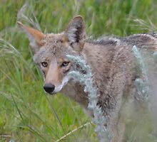 Coyote Close-Up by BrightFogPhoto