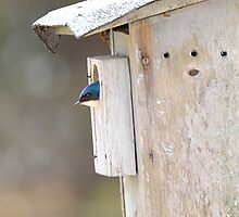 Bluebird House by BrightFogPhoto