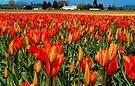 Vivid Orange Tulips by Tori Snow