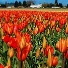 Vivid Orange Tulips by Tori Snow
