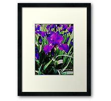 Purple Irises Blooming  On The Mainline Framed Print