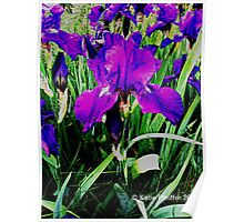 Purple Irises Blooming  On The Mainline Poster