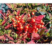 Red Berries in Fall  Photographic Print