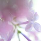 soft fragrance.. by JOSEPHMAZZUCCO