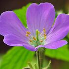Wild Geranium by lorilee