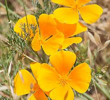 California Poppy Trio by Agro Films