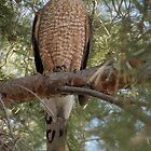 Cooper's Hawk by Kimberly P-Chadwick