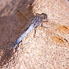 Resting Dragonfly by jayneeldred