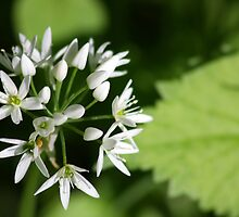Wild Garlic Blossom by SmoothBreeze7