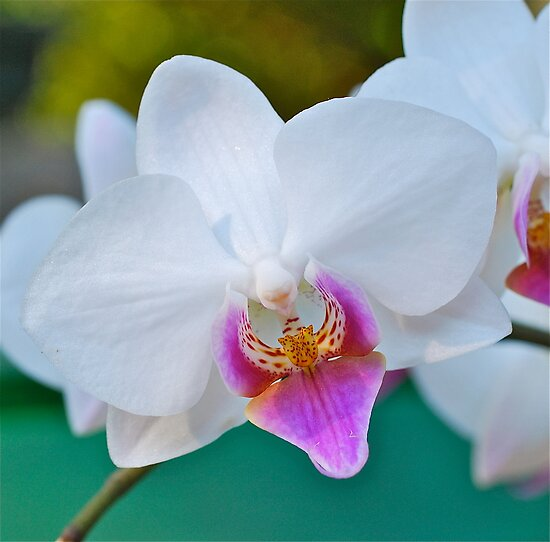 Phalaenopsis Perfection by Penny Smith