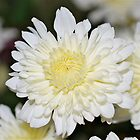 Mother&#x27;s Day Chrysanthemum # 2 by Penny Smith