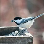 Chickadee With A Seed At Cranberry Marsh by Gary Chapple