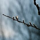 Catkin In Silhouette At Cranberry Marsh  by Gary Chapple