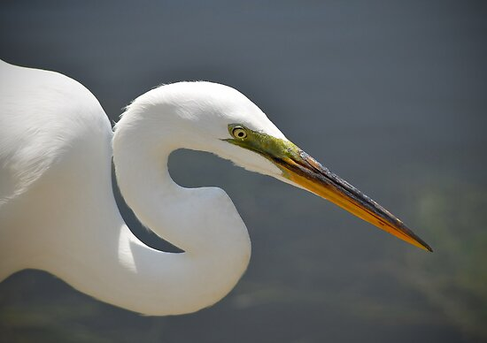 Radar The Great Egret by Kathy Baccari