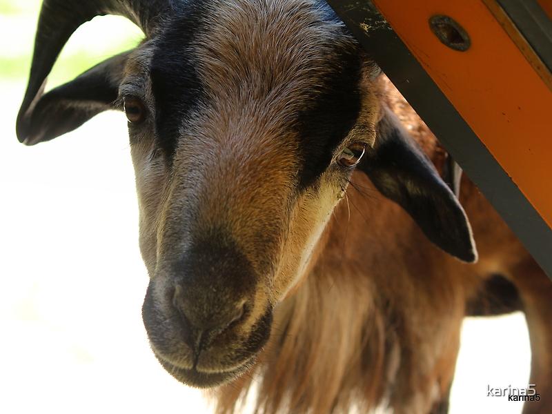 Curious Ram by karina5