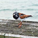 Ruddy Turnstone by Dawne Dunton