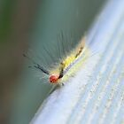 White-Marked Tussock Moth Caterpillar by Dawne Dunton