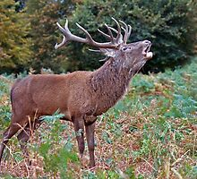Red Stag 3 by alan forder