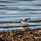 Sanderling by TheWanderer27