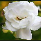 Gorgeous Garden Gardenia  by AuntDot