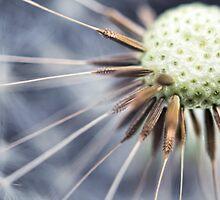 Dandelion fluff... 3 by Bob Daalder