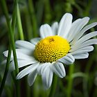 Little Daisy by CathyS