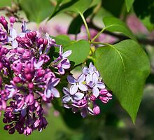 I Love Lilacs by Thomas Young